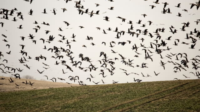 Goose fliegt über das Feld