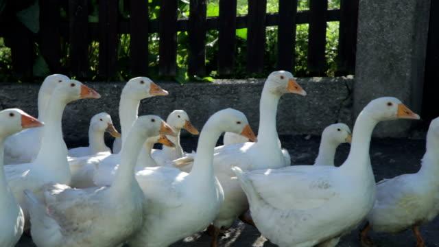 Goose - Stock Footage