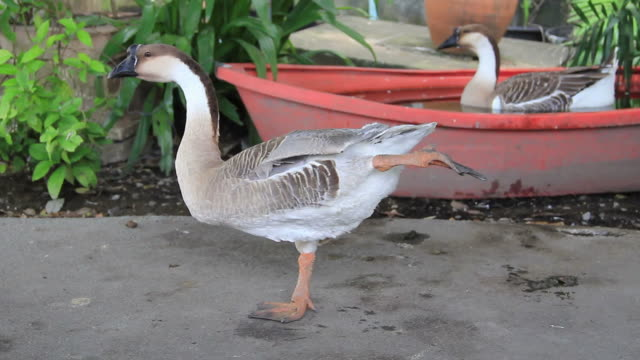 Goose stretching its wing and leg.