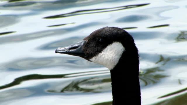 Goose-01