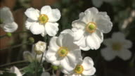 Gorgeous white Japanese anemones rustle in a breeze.