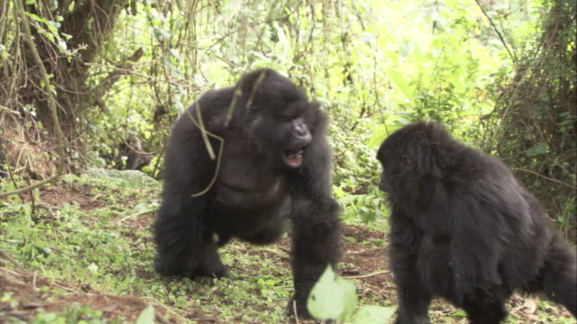 A gorilla charges at a smaller gorilla. Available in HD.