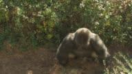 Gorilla charging