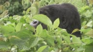 A gorilla relaxes in bushes. Available in HD.