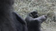 A gorilla's hand in a strange pose.