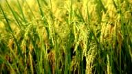 Grain of rice.