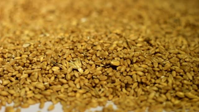 Grain of wheat