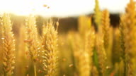 HD SUPER SLOW MO: Grains Falling Over Wheat Stems