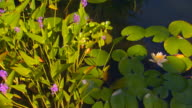 Grand Rapids, MichiganCoy pond with lily pads, high angle with pan