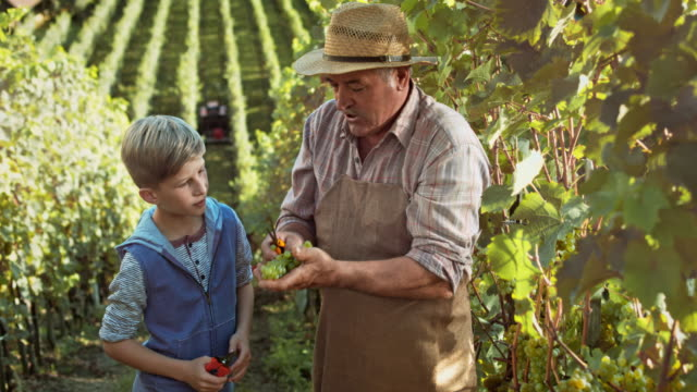 DS Grandfather showing grandson how to harvest grapes by hand