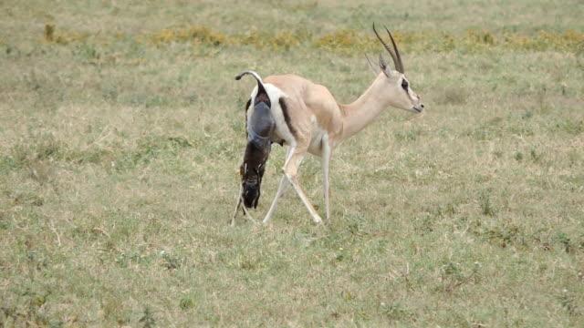Grant's gazelle Geburt.