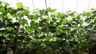 grape garden in the green house