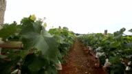 grape garden under sky