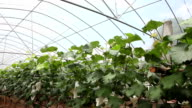 grape grow in paper bag in the garden in  green house