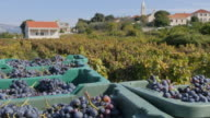 Grape harvest at Lumbarda, Korcula Island, Dalmatia, Croatia, Europe