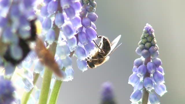 Grape hyacinth and insects