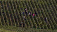WS HA Grape pickers hand picking grapes during Champagne Harvest / Epernay, Champagne Ardennes, France