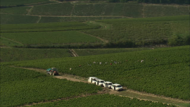 Grape Picking In Chablis Vineyards