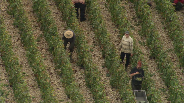 Grape Picking Near Meursault