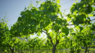 Grape vine at daylight