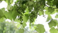 Grape vine in rain