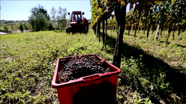 Grapes Harvesting in a Vineyard of Tuscany