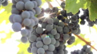 grapes on the plantation