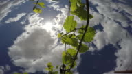 Grapevine against a blue sky in spring