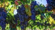 Grapevine Ripe Grapes