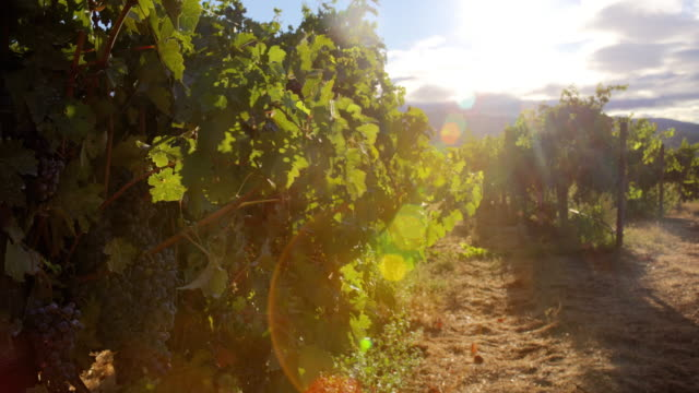 Grapevines in Morning Light