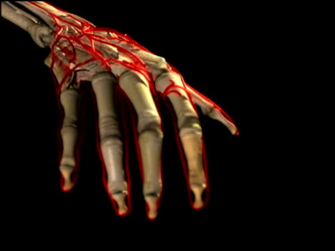 Graphic of human hand depicting skeletal and vascular structures