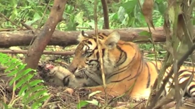 A graphic video shows the last hours of a rare Sumatran tiger as it writhes in a trap in Indonesia and Greenpeace activists say it exposes the...