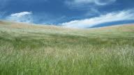 WS, Grass blowing on wind, Blenheim, Marlborough, New Zealand