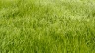 Campo in erba
