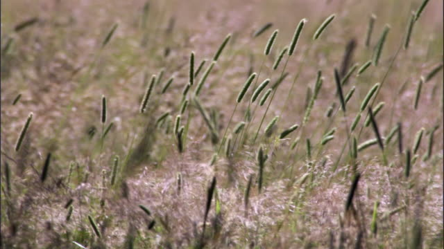 Grass flower heads sway in wind, Yellowstone, USA
