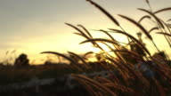 Grass flowers in the wind during sunset