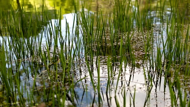 Grass growing in some calm water