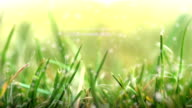 Grass in Sunlight. HD