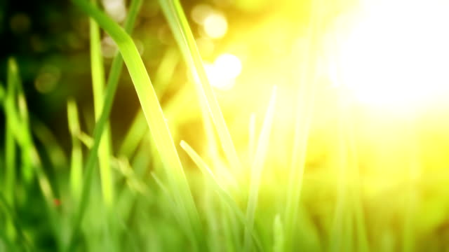 Grass in sunrise/sunset