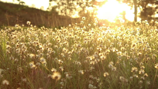 grass 's flower  with sunset