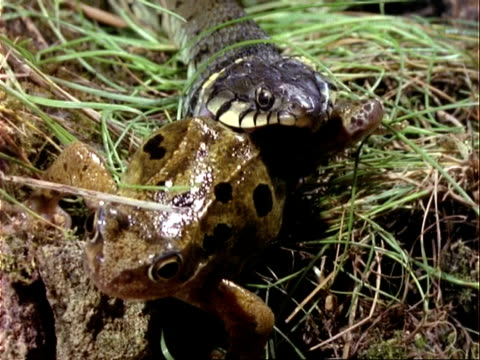 CU Grass Snake dislocating jaw whilst eating frog