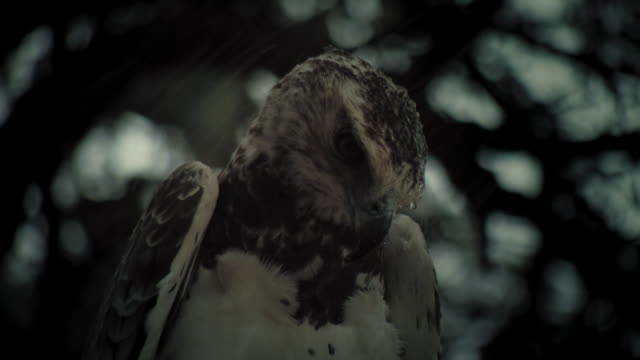 A gray eagle shakes its head as raindrops fall. Available in HD.