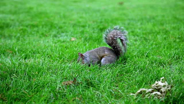 Gray Squirrel searching and eating on the green glade