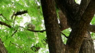 Gray squirrel sitting on a branch in a tree eating somethings.