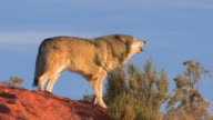 MS TS Gray Wolf (Canis lupus) walks across red rocks and howls. /Utah, USA