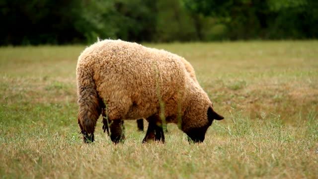Schwarze Schafe Grasen