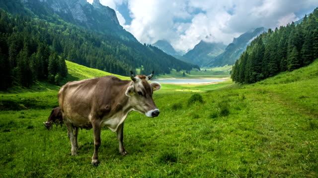 Grasen Kuh in den Bergen