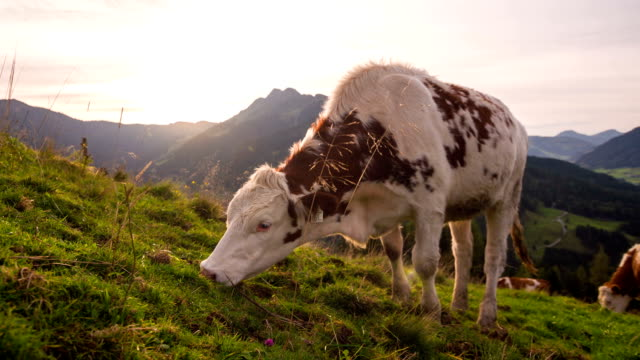 Grazing cows in high mountain landscape