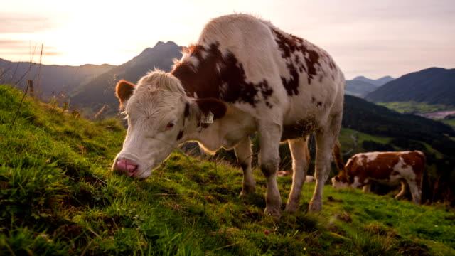 Kühe grasen in Alpen