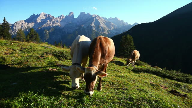 HD Grazing Cows on High Mountain Pasture